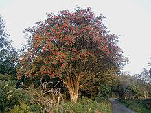 220px-Rowan_tree_20081002b